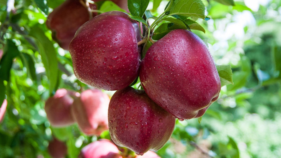 The Red Delicious was first discovered on an Iowa farm in the 1870's. It grew to become America's most popular apple.